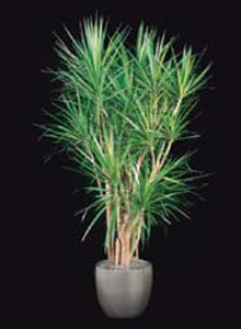 exotic marginata